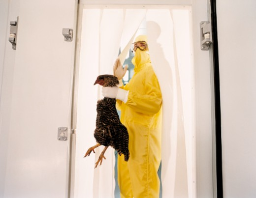 Scientist wearing sterile suit exiting fridge, holding dead chicken : Stock Photo