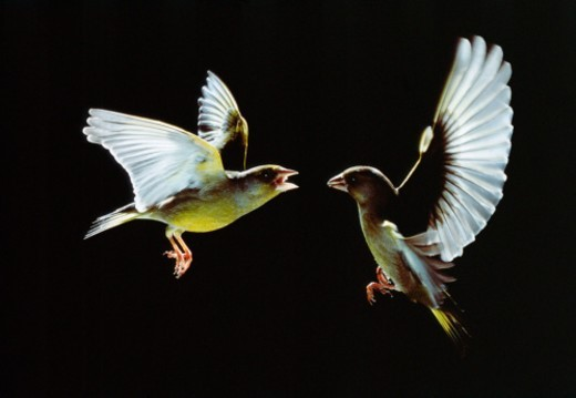 Two greenfinches (Carduelis chloris) fighting in flight, side view : Stock Photo