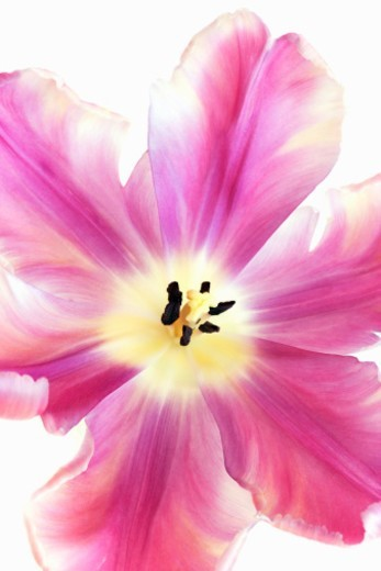 Pink tulip in full bloom, close-up : Stock Photo