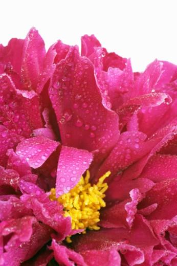 Peony (paeonia officinalis) close-up : Stock Photo