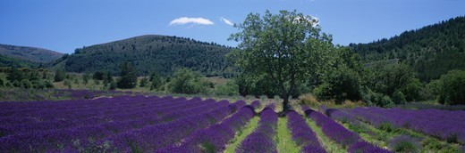 France, Provence, Luberon, tree in lavender field : Stock Photo
