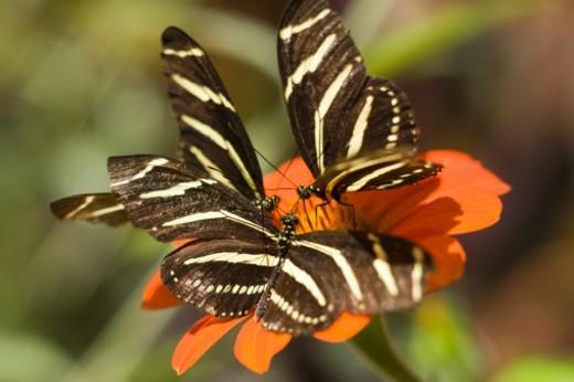 Zebra Longwing (heliconius charitonia) on flower : Stock Photo