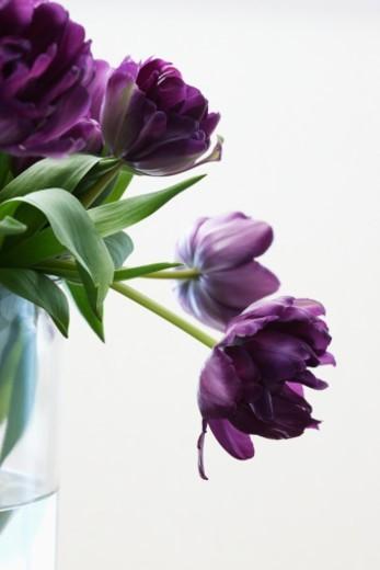Purple tulips in vase, studio shot, close up : Stock Photo
