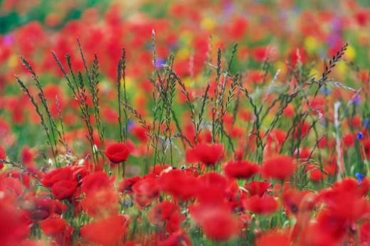 Corn poppies and blades of grass (papaver rhoeas) - Europe, Germany, Bavaria, Holzkirchen - Forenoon : Stock Photo