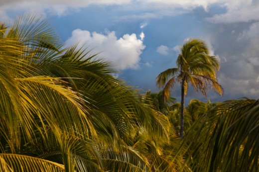 Stock Photo: 1672R-32490 stormy sky with palm trees blowing in the wind
