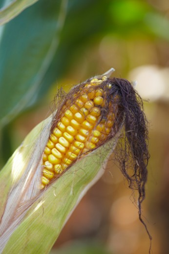 corn sits on stalk growing in field in fall : Stock Photo