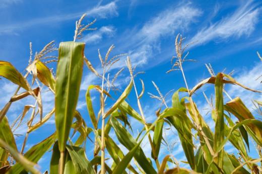 corn plants grow in the sun with sunny blue sky : Stock Photo