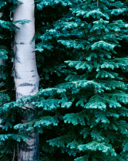 Stock Photo: 1672R-33993 Aspen (Populus tremuloides) and Fir (Abies sp.) trees in Owl Creek Pass; Uncompahgre National Forest, CO