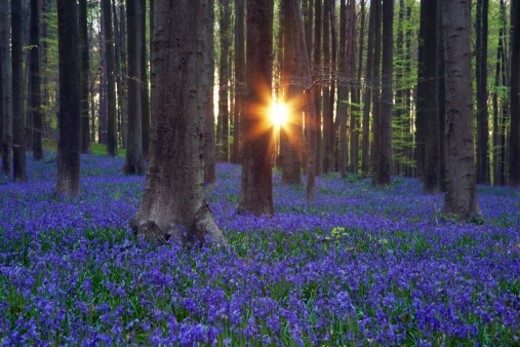 Stock Photo: 1672R-36344 Sunset in bluebell forest