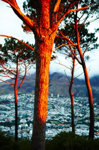 View from Signal Hill of trees lit with the last rays of sunset  : Stock Photo
