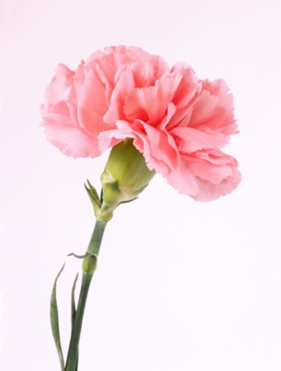 Close up of pink carnation on white background, (sp. dianthus). : Stock Photo