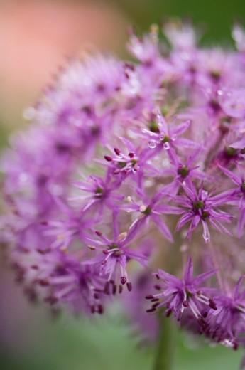 Stock Photo: 1672R-39836 Lilac purple sphere of spring allium blossom. Flowering Onion