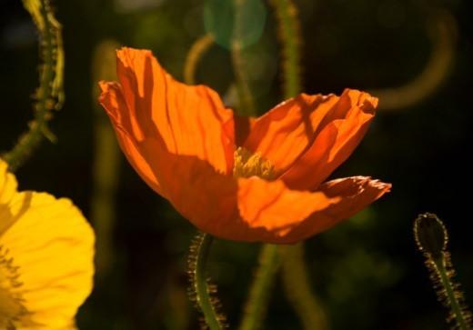 Back lit orange poppy at sunset : Stock Photo