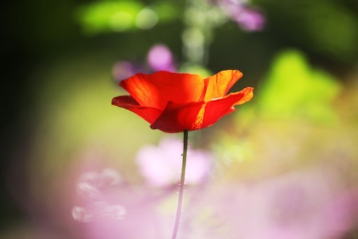 Stock Photo: 1672R-40312 red poppy
