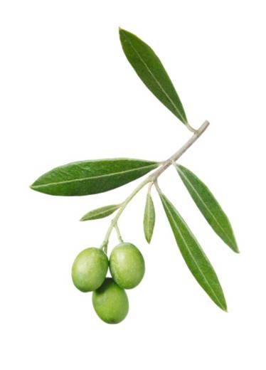 Green Olives on Branch with Leaves : Stock Photo