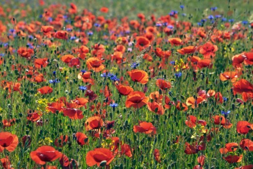 Corn poppies (papaver rhoeas) and corn flowers - Europe, Germany, Bavaria, Holzkirchen - Forenoon : Stock Photo