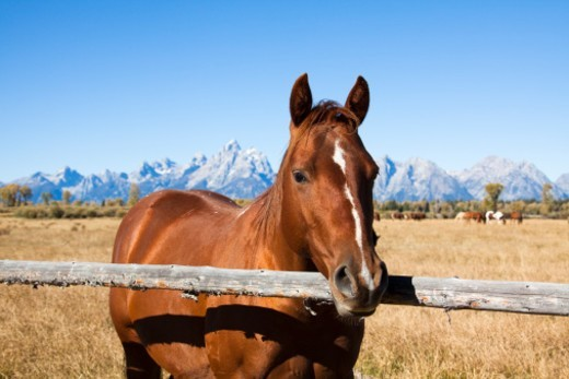 Horse by a fence with the Grand Tetons in the background, autumn : Stock Photo