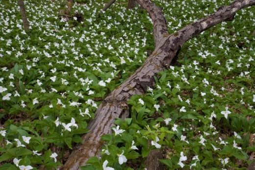 Stock Photo: 1672R-42713 Field of Large White Trillium (Trillium grandiflorum) in bloom; Aman City Park of Grand Rapids.  Ottawa County, MI