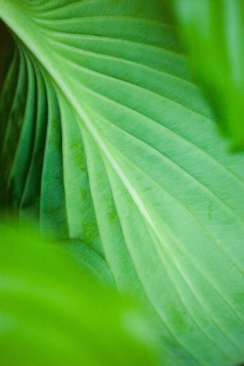Stock Photo: 1672R-43162 Back of Hosta leaf with network of viens,UK