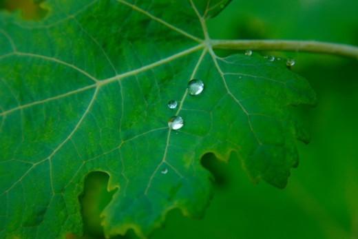 Dewdrops on fresh green leaf, Scotland : Stock Photo