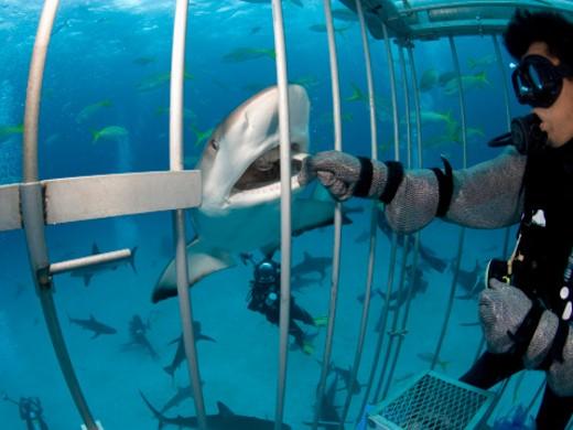 (Carcharinus perezi) underwater view, New Providence, Bahamas : Stock Photo