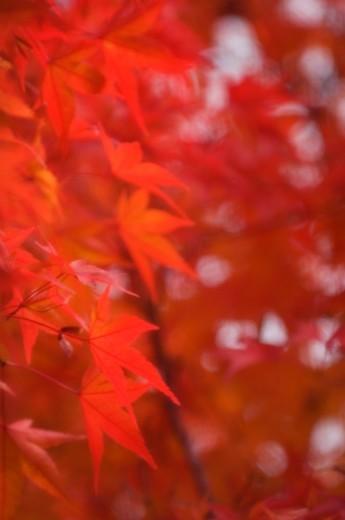 Red Maple Leaves. Acer palmatum : Stock Photo