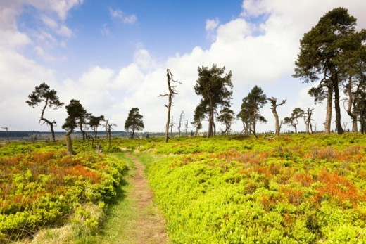 Pine trees in a moorland : Stock Photo
