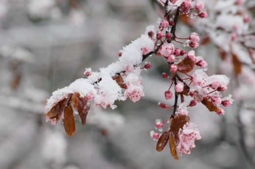 A late snow falls and collects on plum tree blossoms in a garden.  Latin name for flowering plum trees is the 'Prunus' family. : Stock Photo