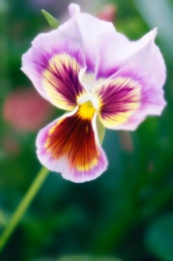 Stock Photo: 1672R-47388 Single Valender Pansy Bloom. Viola x wittrockiana