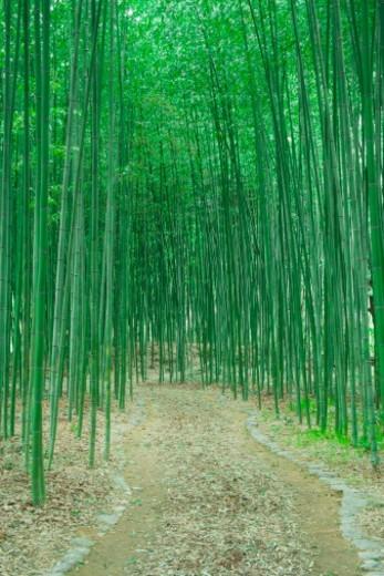 Stock Photo: 1672R-48440 Phyllostachys Bambusoides, Kitasaga area