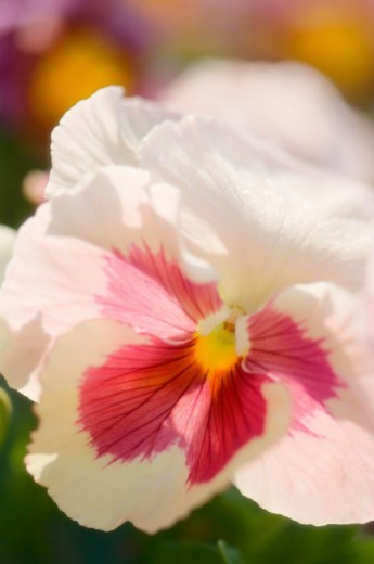 Stock Photo: 1672R-48474 a close-up. viola x wittrockiana