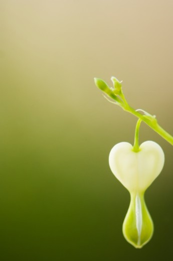 one young white bleeding heart flower, soft green beige background : Stock Photo