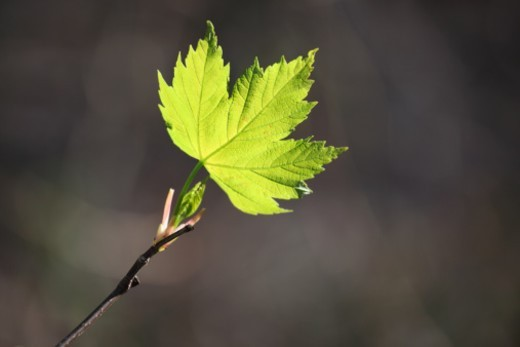 Stock Photo: 1672R-49883 young leaf at spring