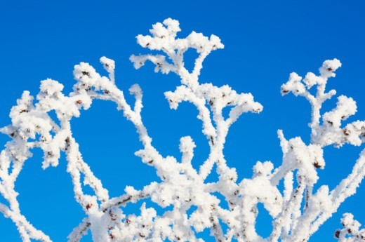 Snow covered branches against blue sky, close-up Europe, Germany, Saxony,  : Stock Photo