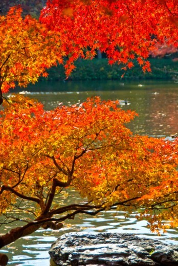 Koishikawa Korakuen gardens : Stock Photo
