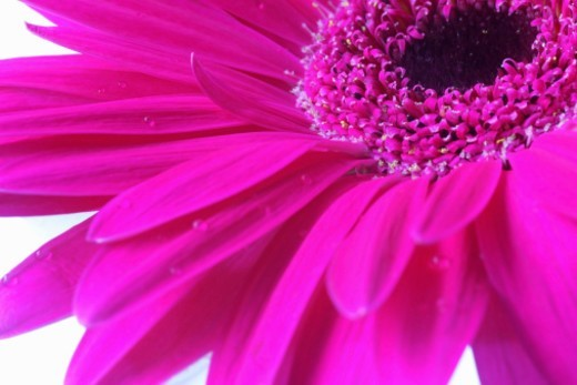 Stock Photo: 1672R-54178 Close-up of purple gerbera daisy, studio shot