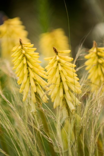 Yellow flowers of Red Hot Poker surrounded by Flowering Grasses : Stock Photo