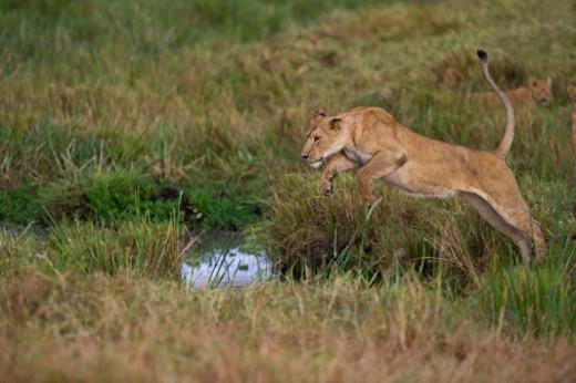 Stock Photo: 1672R-55760 Lion (lioness) Panthera leo leaping a ditch Masai Mara Kenya