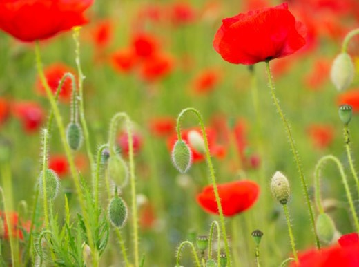 Poppies, Somme valley, France : Stock Photo