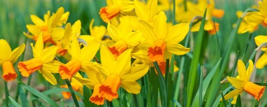 Stock Photo: 1672R-56623 Sunlit fresh spring daffodils and narcissus