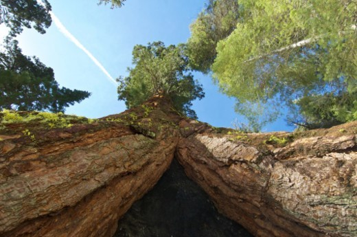 Standing within a giant sequoia tree in Yosemite National Park : Stock Photo