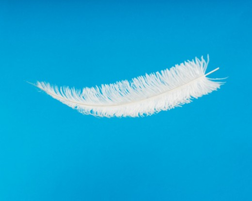 Stock Photo: 1672R-5974 Immature wing feather (spadona) from ostrich (Struthio camelus).