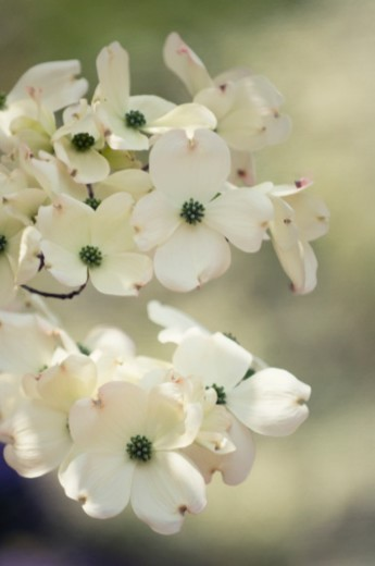 Blossoming branch of white dogwood tree. Pattern of four petal flowers, isolated. Cornus florida : Stock Photo