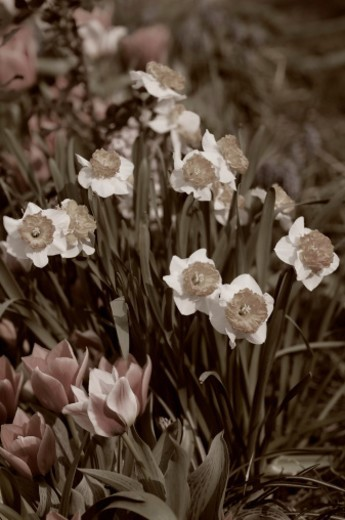 Stock Photo: 1672R-61554 A blossoming patch of narcissi flowers and short stemmed tulips. Spring garden