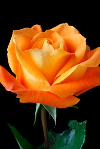 Stock Photo: 1672R-63416 Single orange rose