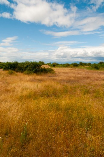Natural grasses near the mouth of the Fraser River, mid-summer. : Stock Photo
