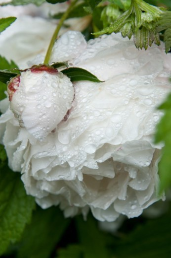Genus Paeonia, the only genus in the flowering plant family Paeoniaceae. : Stock Photo