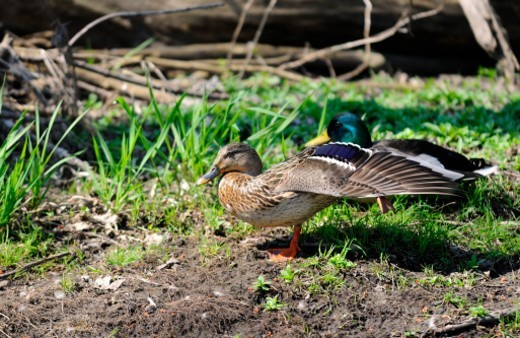 Female mallard stretching her wing and leg next to male. : Stock Photo