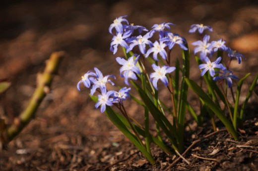Stock Photo: 1672R-64310 Spring bulbs in bloom. Blue Chionodoxa flowers, 'Glory of the snow', in full bloom.