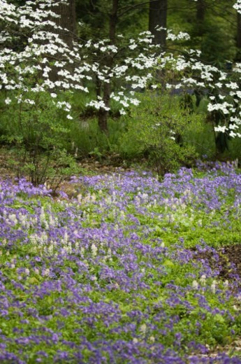 Blue phlox, white foamflowers and blossoming white dogwoods in Longwood Gardens. : Stock Photo